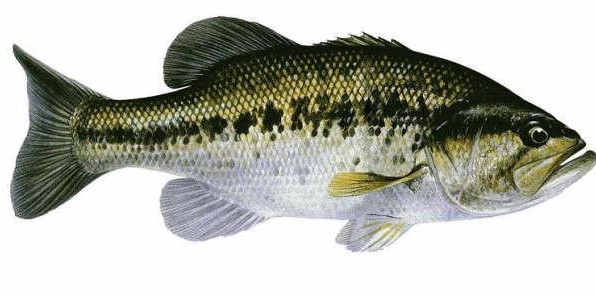 Black_bass_fiche_technique